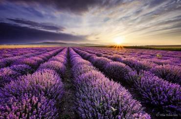 A virágzásban lévő levendula föld az egyik legszebb látvány a világon