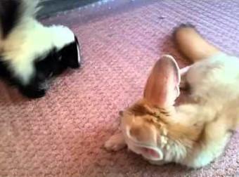 Ilyen, ahogy egy dundi borz és egy sivatagi róka birkózik egymással, nagyon édes!