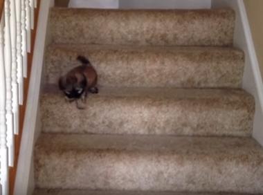 Ez a kis kölyökkutya bátran lement a lépcsőn, de a húgának segíteni kellett