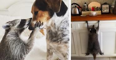 A család megmenti az árva mosómedvét, aki a kutyának hiszi magát