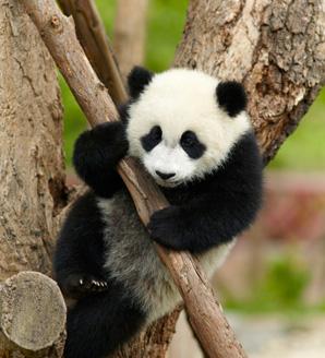 Pandabocsokat ölelgetve keres évi 9 milliót a lány