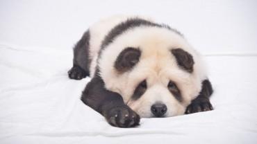 Ilyet még nem látott! Új faj született, a pandakutya!
